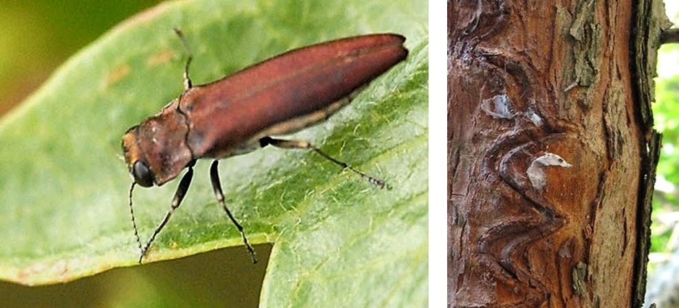 Prachtkevers